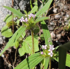 Crusea wrightii (Turtlerangler) Tags: santacruz pinkflowers rubiaceae diodia