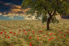 Fields Of Gold (rudolph_sommer) Tags: autumn summer fall barley sommer wheat herbst rye poppy kornfeld latesummer mohn grainfield sptsommer weizenfeld roggenfeld gerstenfeld