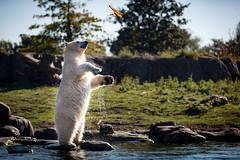 BLIJDORP20151001_©arievantilborg-9616 (Arie van Tilborg) Tags: blijdorp polarbear ijsbeer rotterdamzoo ijsberen arievantilborg