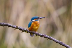 Kingfisher (wayne.withers1970) Tags:
