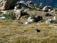 Pika and Marmot (KilcherPNW) Tags: mountains colorado hiking wildlife hike rockymountains marmot rmnp marmots pika mountida