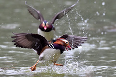 Mandarin Duck,  (udnleo, ) Tags: bird nature taiwan nikon600mm nikond4s