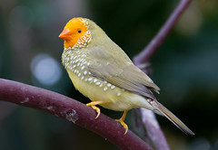 Yes I Can Sing (johnshlau) Tags: park canada bird birds yellow vancouver stars colorful singing britishcolumbia spots finch sing tropical wonderland queenelizabethpark bloedelconservatory tropicalbirds exoticbirds yellowface colorfulbirds starfinch nativetoaustralia yellowfacestarfinch starlikespots