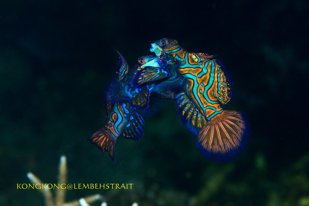 The World 39 S Best Photos Of Mandarinfish Flickr Hive Mind