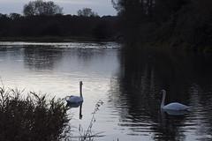 DSC_0421 (i2k14 (ian Brien)) Tags: autumn tree abbey night ian nikon stream dusk swans waverley brien d7200 i2k14