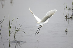 Great Heron's Take Off (Johnnie Shene Photography(Thanks, 1Million+ Views)) Tags: wild people white colour macro bird heron nature animal horizontal canon lens photography eos rebel spread fly flying still wings focus scenery kiss stream view natural image zoom outdoor no wildlife rear great watching birding flight scenic sigma tranquility scene off apo full take modified midair limbs 70300mm length viewpoint takeoff egret tranquil adjustment freshness dg herons stationary foreground 456 t3i x5 70300 behaviour  fragility 600d f456