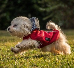 I love speed..I'm flying! (Fabrizio Malisan Photography @fabulouSport) Tags: dog chien pet pets cute dogs animals cane puppy fun outdoors happy jumping puppies funny joy happiness running run perro perros maltese animaux animali chiens cucciolo cani cagnolino maltesedogs petphotography maltesedog petphotographer petsphotography petsphotographer