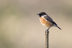 Stonechat (Andy Davis Photography) Tags: canon perched stonechat