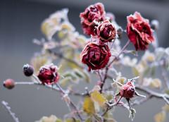 ..vom Winter berrascht (ingoal18) Tags: winter red rot rose frozen tau weiss reif rote morgentau gefroren eiskristall morgenreife