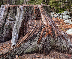 Splendid Stump (Mitymous) Tags: wood stump royalstonfalls winter2016