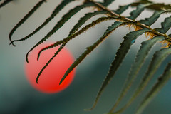 Western Sword Fern Frond with Blood Red Setting Sun Colored By Smoke from Forest Fires (Lee Rentz) Tags: sunset red wild summer usa sun lake fern color nature leaves america outdoors fire japanese leaf northwest smoke olympicpeninsula frond burning zen pacificnorthwest northamerica forestfire washingtonstate setting fires contemplative forestfires wildfire contemplation swordfern washingon bloodred redsun polystichummunitum westernswordfern fawnlake commonswordfern leerentzcom