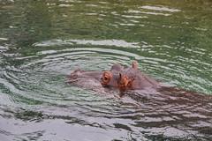 Pairi Daiza - Zoo - Belgium - 0185 (Snyers Bert) Tags: allerlei pairidaiza animal animals belgium bergen daiza gardensoftheworld mons pairi zoo brugelette wallonie