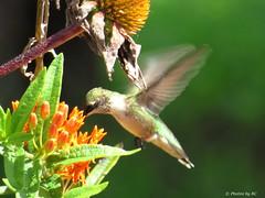 Female Humming Bird. (~~BC's~~Photographs~~) Tags: bcsphotographs canonsx50 female hummingbird butterflyweed inourgarden aroundthefarm summer naturephotos closeups kentuckyphotos ourworldinphotosgroup earthwindandfiregroup explorekentucky