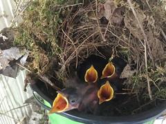 Baby House Wrens (Alexandra Night) Tags: august2016 birds homev nests babyanimals babybirds acolorstory summer2016 2016 wildlife