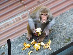 Gluttonous Monkey (Md. Sohanul Haque (শান্ত)) Tags: monkey banana eating wildlife animal dhaka bangladesh mirpur