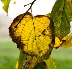 welkendes Herbstlaub (dieterkolm) Tags: herbst laub gegenlicht dieter kolm farben