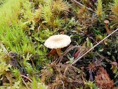 Heath Navel - Lichenomphalia umbellifera, I think? (SAMARA:) Tags: lichen fungi heathnavel lichenomphaliaumbellifera scotland october glentrool forest