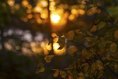 Evening echo (Edita Ruzgas. Thanks for your visit.) Tags: dof closeup macro evening edita ruzgas nikon d7200 bokeh bushes trees night dusk colourful colours autumn fall yellow leaves