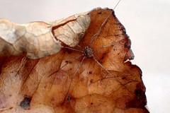 Harvestman (Bugldy99) Tags: animal arthropod arthropoda arachnida opiliones nature outdoors daddylonglegs harvestman