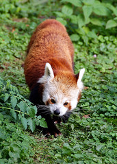 DSC03484-2 (hofferp) Tags: animallove animalphotos animals zoobudapest zoolife hungary sostozoo sonya300 sonydslr sonycam tiger whitelion littlepanda katta lion zebra orangutan