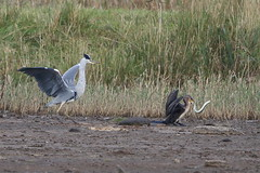 Heron Eel 1 (Ged Gill) Tags: leightonmoss eel heron slippery feeding