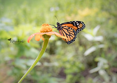 Raising & Releasing Monarch's (Explore) (BHawk Photography) Tags: monarchbutterfly migration mexico fall raisingbutterflies bhawkinsphotography