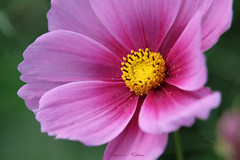 - cosmos (shig.) Tags: cosmos flower flowers pink nature natural macro canon eos 70d petals violet