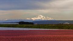 Mount Baker (Bill Anderson :-)) Tags: mountbaker delta cranberryfield canada washingtonstate