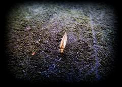 wall.crawl (C.Kalk DigitaLPhotoS) Tags: insekt insect animal tier closeup insecta hexapoda arthropoda fauna natur nature outdoor makro macro