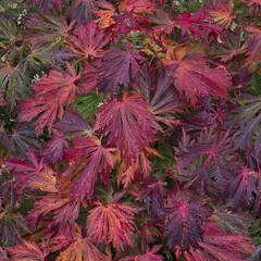 Close up autumn leaves Acer Japonicum aconitifolium 'The Fern Leaf Full Moon Maple'. (Four Seasons Garden) Tags: four seasons garden uk england autumn october 2016 colours foliage japanese maple acer close up japonicum aconitifolium fern leaf full moon