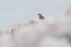 Snow Bunting (dam.photos) Tags: wild wildlife birds nature natural nopeople nikon animalier animals animal animaux light bokeh