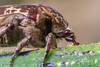 Mango flower beetle2_Calliope_25102016 (Teale Britstra) Tags: mangoflowerbeetle calliope extensiontubes nature australia macrokosmcom 55250mm australian canon native kitlens scarabaeidae macro 600d tealebritstra centralqueensland cetoniinae insect coleoptera wildlife arthropod queensland protaetia protaetiafusca beetle flowerbeetle macrokosm mottledflowerscarab scarab t3i