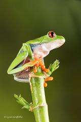Red Eye Tree Frog - sitting pretty D75_2752.jpg (Mobile Lynn) Tags: amphibian frog nature redeyetreefrog captive bournemouth england unitedkingdom gb coth specanimal greatphotographers coth5 ngc sunrays5 npc