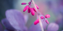 berryful (t1ggr) Tags: closeup macro nature outdoors berry pastel dof