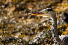 Irish bird (Pascal Bernardin) Tags: hroncendr ardeacinerea greyheron