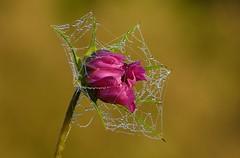 Nature has its own decorations (joeke pieters) Tags: 1310107 panasonicdmcfz150 cosmea cosmos web cobweb druppels dauw drops droplets dew bokeh ngc npc platinumheartaward
