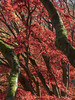 Autumn_6 (plastalg) Tags: autumngold
