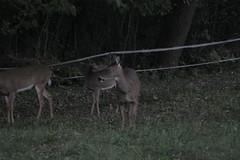 _MG_1991 (thinktank8326) Tags: deer whitetaileddeer fawn doe babyanimal babydeer