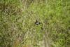 DSC00960.jpg (joe.spandrusyszyn) Tags: byjoespandrusyszyn suliformes anhingidae unitedstatesofamerica florida anhingaanhinga vertebrate nature bird orlando lakeapopka darter snakebird lakeapopkalooptrail animal anhinga