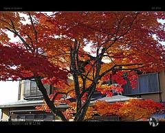 Autumn in Takayama II (tomraven) Tags: autumn colours tree red orange yellow fall fallcolors tomraven autumncolours leaves aravenimage japan takayama tomraveninjapan q42016 sigma sdquattro