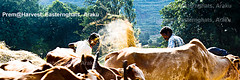 Mysterious-Morning-Raga--Araku--HarvestingMake-_Hay-while-Sunshine_ (prem swaroop) Tags: harvest crop cultivation tilling easternghats araku arakupicturepostcard aptourism travelindia andhrapradesh prem