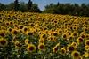 DSC_0242 (Copy) (pandjt) Tags: montague princeedwardisland canada ca pei sunflowers sunflower