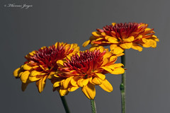 Solidarity 1122 Copyrighted (Tjerger) Tags: nature bloom closeup fall flora floral flower graybackground macro mum petals plant portrait stem three trio wisconsin solidarity natural