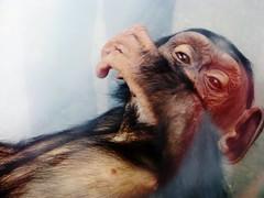 Pan troglodytes --  Chimpanzee child at rest 1371 (Tangled Bank) Tags: asahiyama zoo hokkaido japan japanese asia asian animal zoological gardens pan troglodytes chimpanzee child play 1367 primate chimp juvenile ape