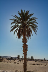 Palm (Bilel Tayar) Tags: algeria sahara desert ouargla touggourt ngoussa oued sable sand sky ciel landscape alone jaune deglet dattes sud nikon nikond5200 palm