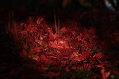 Remembrance Day (Henry Hemming) Tags: leaf leaves red fallen ground dark light contrast autumn fall litter rememberance day poppy poppies