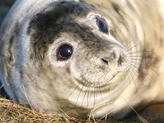 Young Seal Pup, Donna Nook (robin denton) Tags: seal pup greyseal seals animal nature wildlife lwt lincolnshirewildlifetrust wildlifetrust halichoerusgrypus