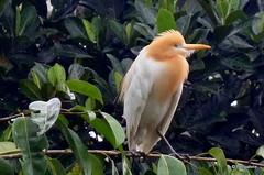 DSC07291 (Peripatete) Tags: bali ubud petulu nature birds travel tourism