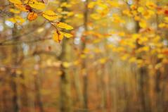 autumn is here VIII (Frau Koriander) Tags: forest wald wood woods 50mm bltter blatt leaf leaves treebranches ste zweige gest gestrpp herbst autumn fall herbstfarben herbstlaub buntebltter jahreszeitenwechsel season nikond300s waldspaziergang bltterdach dachausblttern bokeh dof extremebokeh smoothbokeh silkybokeh nikkoraf50mm18d 5018 mrchenwald magicalforest laub plant plants outdoor dreamy