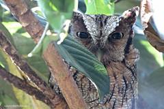 IMG_0035 (Juliana Bartholomey) Tags: awn world photo coruja brasil brazil